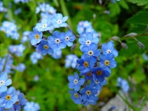 forget-me-not-3966_960_720